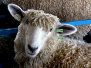 rhinebeck_sheep